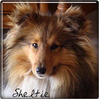 sheltie1