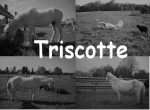 triscotte