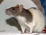 rats a touille