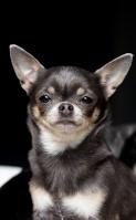 Céline-minidogs-chihuahua