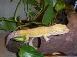 gecko0311
