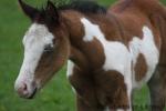 Paint.horse.legend