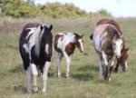 SALTUSIENNE PAINT HORSES