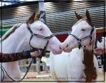 DG Show Horses