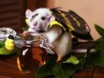 Rat-d'or