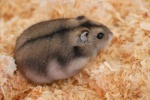 Hamsterix1