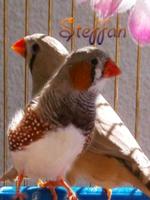 steffan