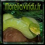 moreliaviridis.fr02