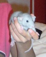 Popo_Les rats