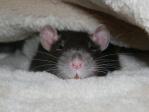 RatsToutDoux