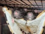 Amon'Rat