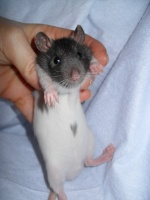 rat'colleuse
