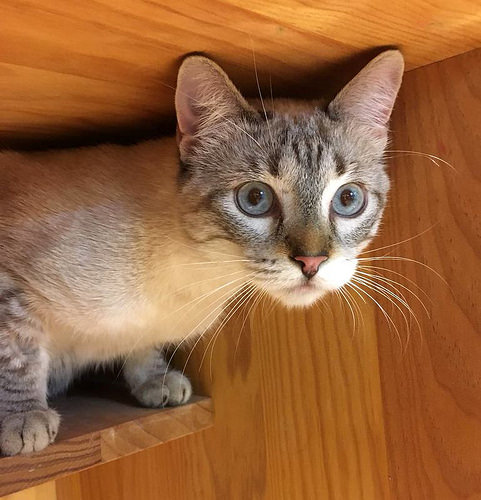 Mambo, gato siamés tabby extrovertido y bueno esterilizado, nacido en Febrero´17, en adopción. Valencia. ADOPTADO. 39844955121_baa432318a