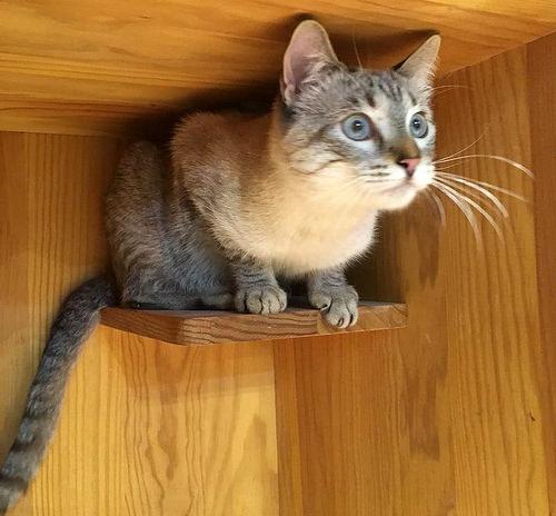 Mambo, gato siamés tabby extrovertido y bueno esterilizado, nacido en Febrero´17, en adopción. Valencia. ADOPTADO. 28065782269_76faa93564
