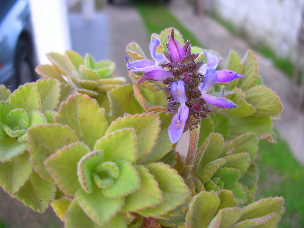 Plante de Martine 10 avril trouvée par Ajonc Neochilus