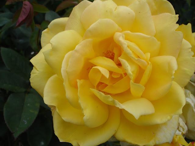 பட்டு வண்ண ரோஜாவாம், பார்த்த கண்ணு மூடாதாம்..! (புகைப்படங்கள்) DSC04863