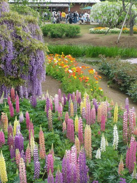 حديقة زهرة الحب في اليابان 13