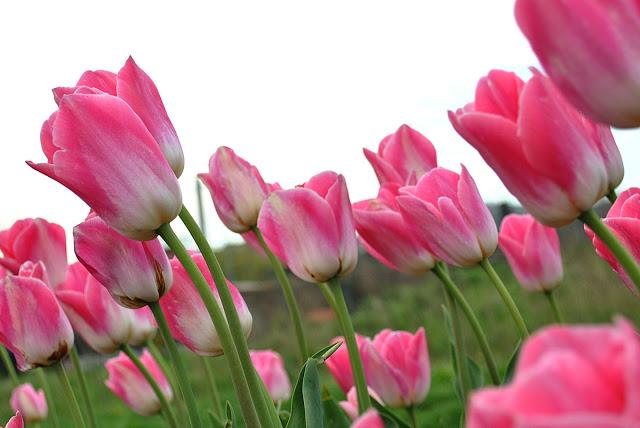 أزهار التيوليب: عالم من الجمال والأناقة 46_1307652436.