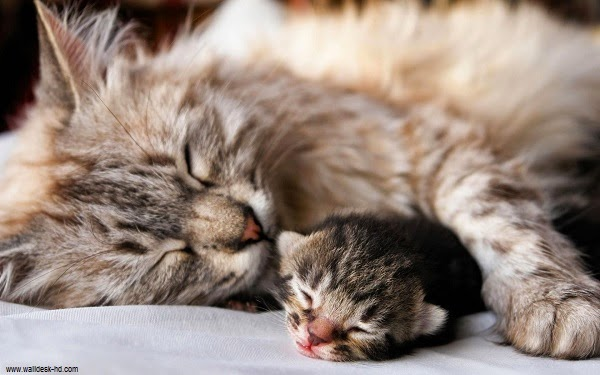 chat ...chat ...chat ... Maman-Chat-et-ses-Chatons-81