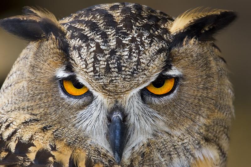 مِنْ كَلبِ الرومِ البُومَة إلى شيخِ القاعدةِ المَكلُومَة Owl1%5B1%5D