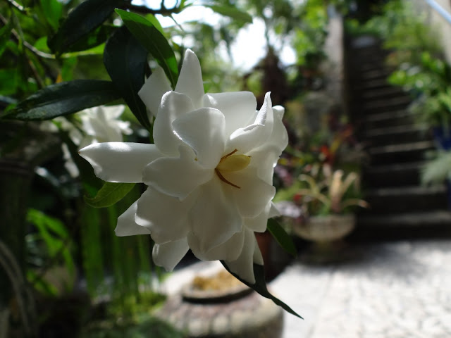Gardenia rustiques DSC07241