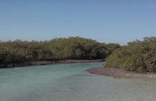 موسوعة شاملة عن المحميات الطبيعية - حصريا على منتدى واحة الإسلام Ras-Mohammed-Mangroves
