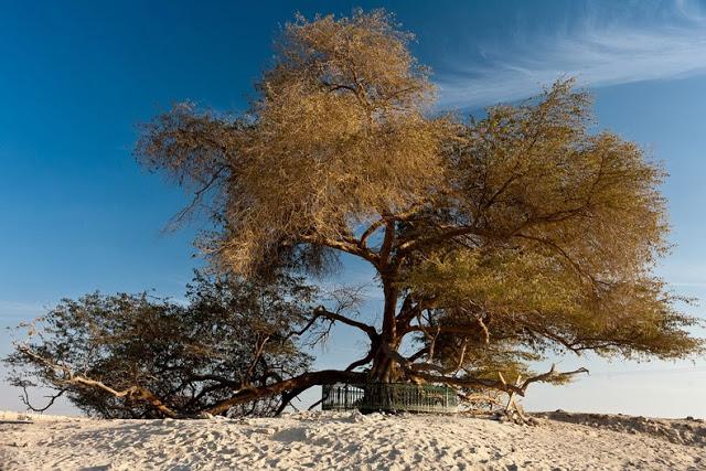 El Árbol de la Vida en el desierto de Bahrein 5400240599_864670283a_b