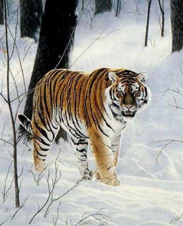 النمر السيبيري Siberian_tiger_3