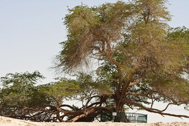 El Árbol de la Vida en el desierto de Bahrein 4640023559_13c94081c4_b