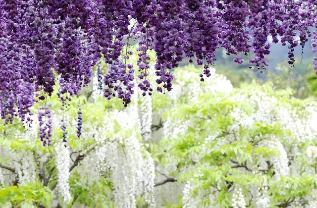 حديقة زهرة الحب في اليابان 14