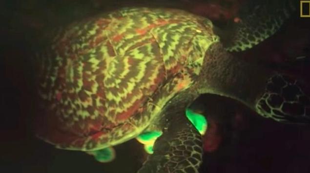 Marine Biologist Discovers the First Biofluorescent Sea Turtle ScreenShot5081