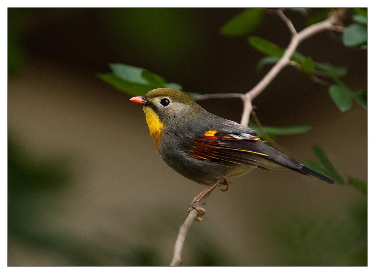 imagenes de pajarillos Aves%2Bdel%2Bparaiso%2B-%2BColors%2Bbirds%2B-%2BPajarillos---7