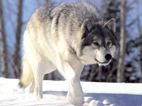 """Вы звери, господа!""(с) - Страница 3 Gray-wolf-1"