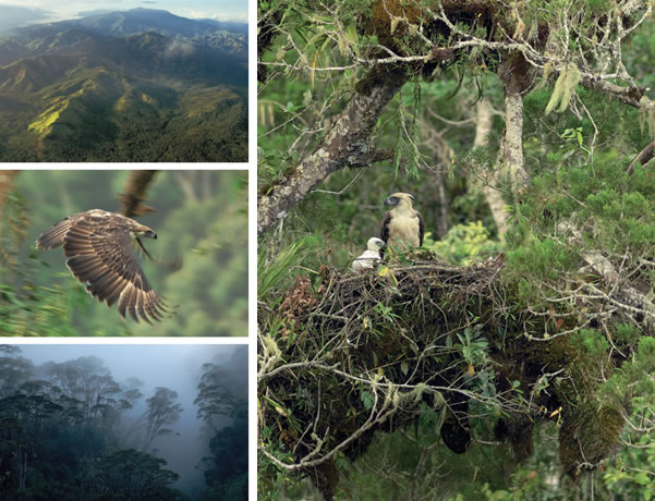 Falconiformes. Família  Acciptridae - Subfamília Buteonidade-Águias coroadas - gênero Pitecophaga jefferyi . Águia das Filipinas. 2011%2Baguia%2Bdas%2Bfilipinas%2B1