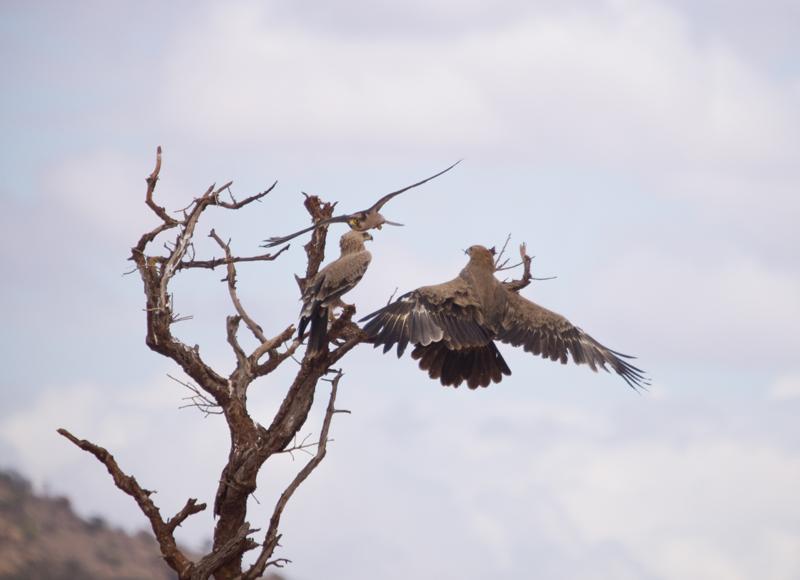 Falconiformes. sub Falconidae - sub fam Falconinae - gênero Falco Kak-a55-009636