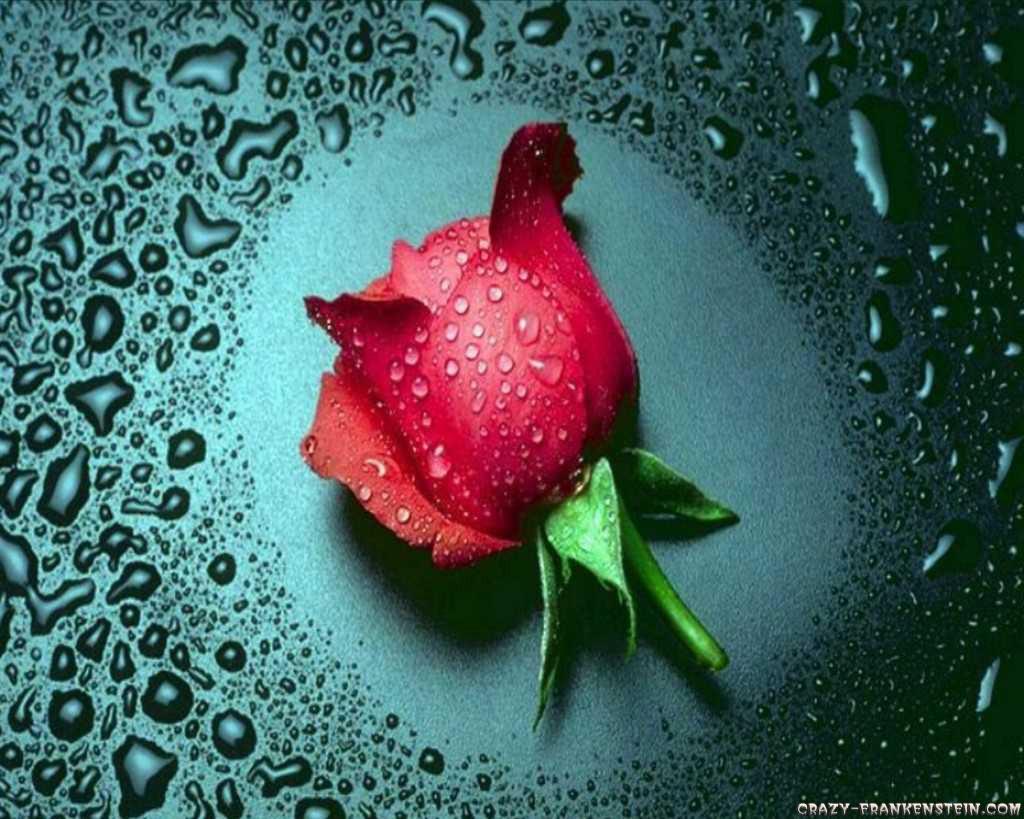 வால்பேப்பர்கள் ( flowers wallpapers ) - Page 2 Wonderful-red-rose-flower-wallpapers