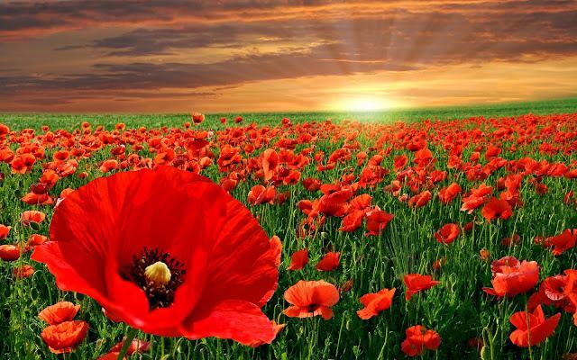 EL MUNDO EN TODO SU ESPLENDOR - Página 4 Poppy_red_flower_field-wide-1
