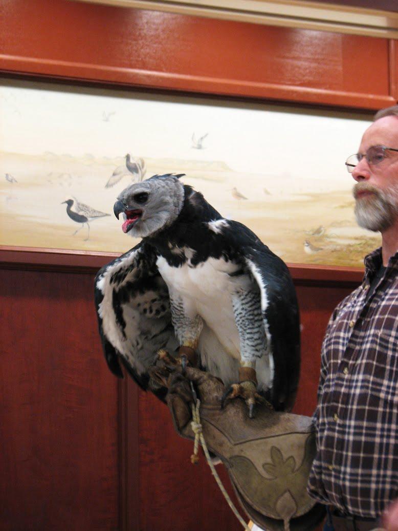 Comparação do tamanho de águias  com relação ao homem. IMG_4393_sm