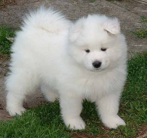 i need your help :O Samoyed_puppies