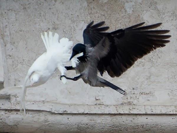 Immagini shock dal Vaticano, divorate in diretta tv le due colombe della pace  N_ce0b172e432e36b31d1132a836399cab