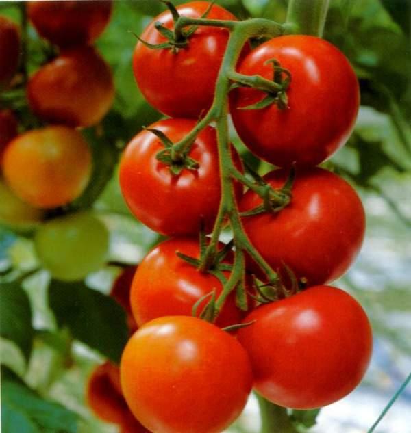 பழங்களும் - குணங்களும் Tomato