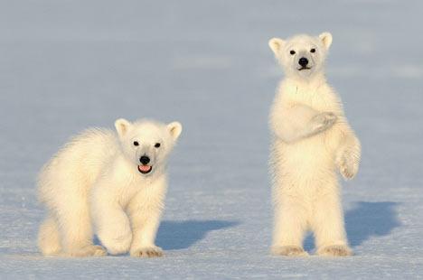 STOCK D'IMAGES Animals-Polar-Bears