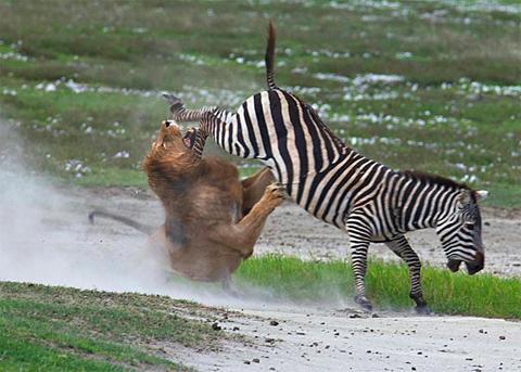 [Jeu] Le bal des masques du posteur du haut - Page 4 2011-04-04-10-56-57-1-the-hind-legs-of-the-zebra-kick-off-to-the-face-an