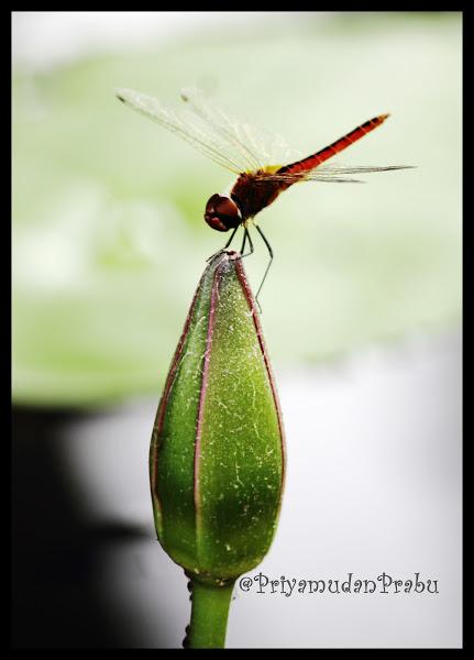 தட்டான்பூச்சி-புகைப்படம்-Dragonfly-Photos  Dragonfly-priyamudanprabu