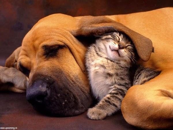 chiens de combat américains Photo-de-chien-et-chat-5
