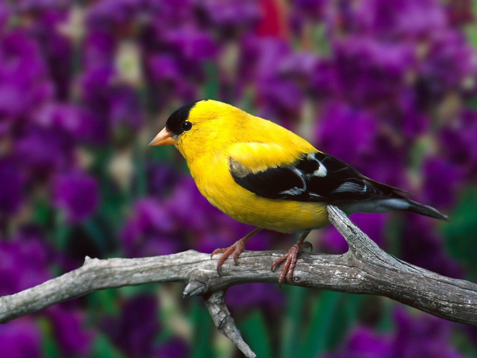 imagenes de pajarillos Aves%252C%2Bbirds%2By%2Bpajarillos%2Bcantores%2B1