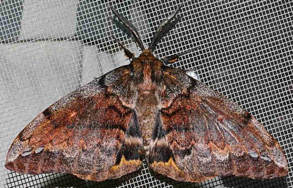 Sưu tập Bộ cánh vẩy  - Page 5 Chelepteryx%2Bcollesi%2BANTHELINAE%2BANTHELIDAE-1