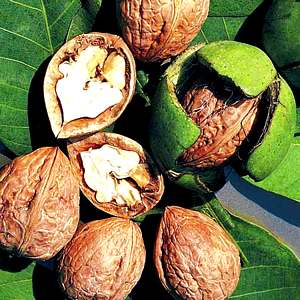 Living Off the Land: 52 Highly Nutritious, Wild-Growing Plants You Can Eat Walnuts