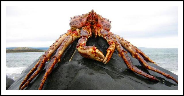 un animal - Blucat - 9 octobre trouvé par Martine King_crab_rock