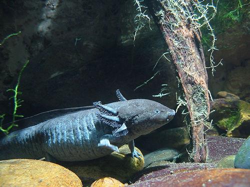 السمكة التي تمشي  لها أرجل و أيدي Interrobang
